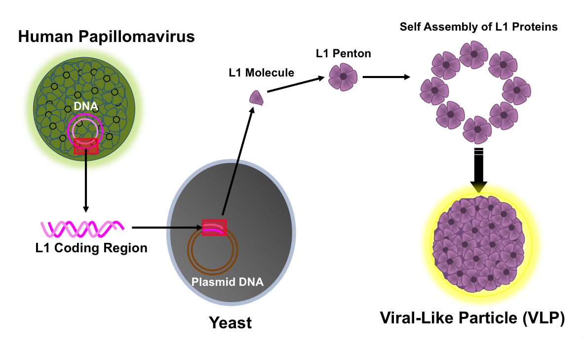 human papillomavirus features