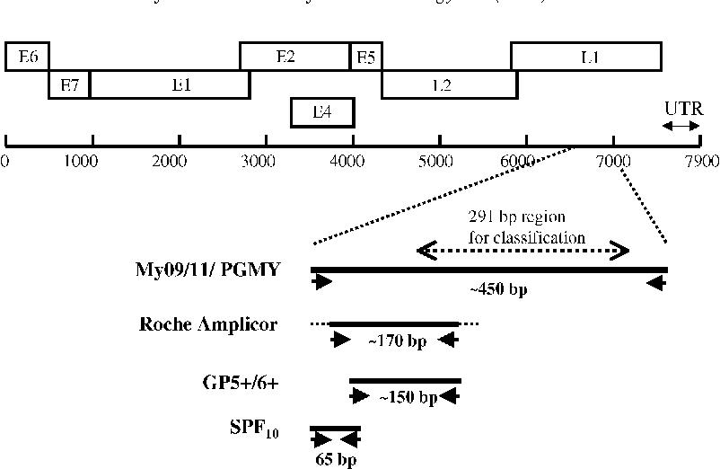 human papillomavirus infection regions vaccino per il papilloma virus non vergine