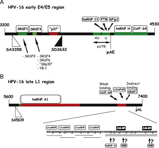 papillomavirus genome structure expression and post-transcriptional regulation