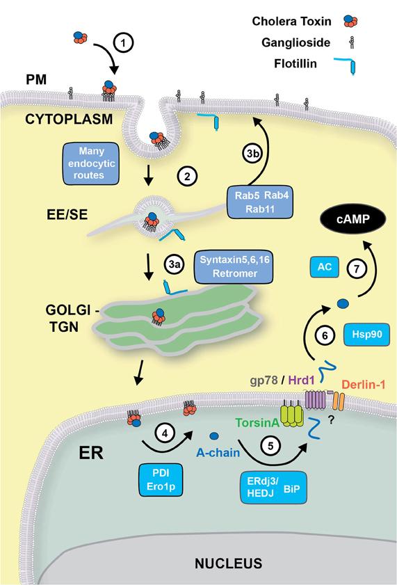 thea 2 toxin nitazoxanida trata oxiurus